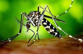 Aedes albopictus - Dengue Fever - Neem - Plan Verde NGO