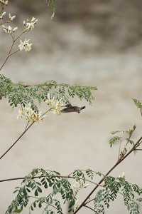 Flower-of-the-Moringa-tree-Hummingbird-Plan-Verde-NGO