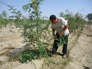 Moringa-tree-Leaf-Harvest-Plan-Verde-NGO