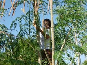 Seed-harvest-Moringa-tree-Plan-Verde-NGO