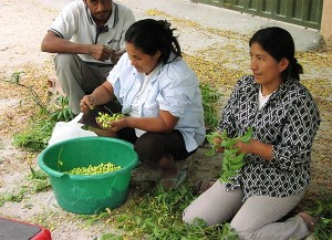 Crop-of-neem-seeds-in-Piura-Plan-Verde-NGO