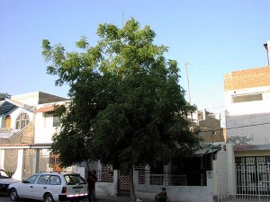 First-neem-tree-in-Piura