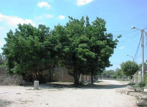 Neem-tree-from-the-engineer-Carloos-Plan-Verde-NGO