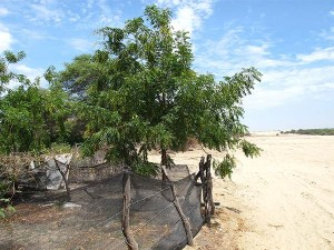 Neem-tree-in-the-Desert-of-Piura--Plan-Verde-NGO